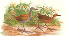 INDIAN GAME BIRDS: Ruddy Crake and Elwee's Crake (Porzana-Bicolor & Fusca);1915